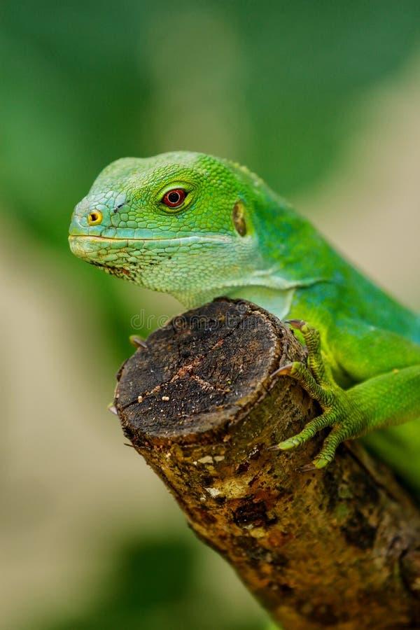 Il fasciatus di Brachylophus dell'iguana legato Figi maschii su Viti Levu è fotografia stock