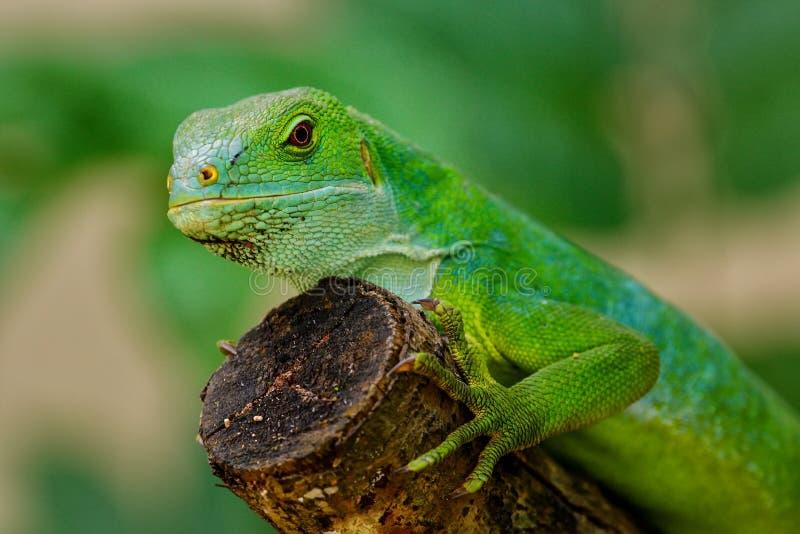 Il fasciatus di Brachylophus dell'iguana legato Figi maschii su Viti Levu è fotografie stock