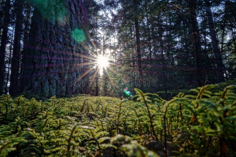 Il fascio del sole delle conifere della foresta rays con i colori verdi bassi del muschio degli alberi immagini stock