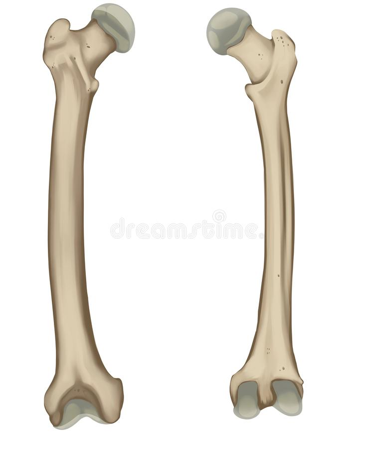 Il femore o l'osso della coscia illustrazione vettoriale