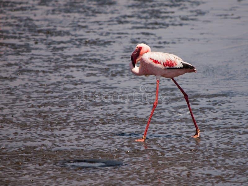 Il fenicottero minore cammina in acqua bassa fotografia stock