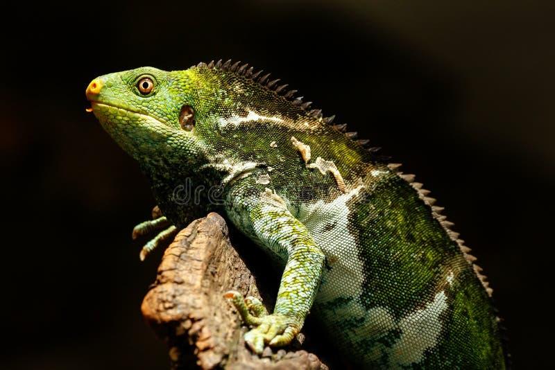 Il Fijian crested il vitiensis di Brachylophus dell'iguana su Viti Levu Isla fotografie stock
