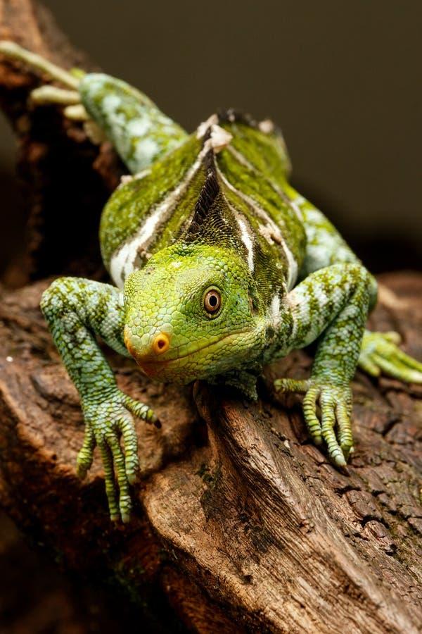 Il Fijian crested il vitiensis di Brachylophus dell'iguana su Viti Levu Isla immagini stock libere da diritti