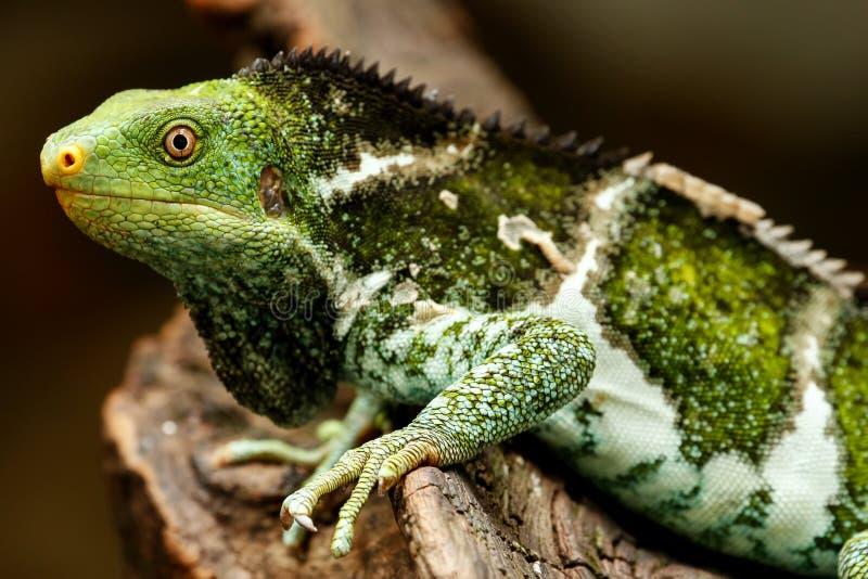 Il Fijian crested il vitiensis di Brachylophus dell'iguana su Viti Levu Isla immagine stock libera da diritti