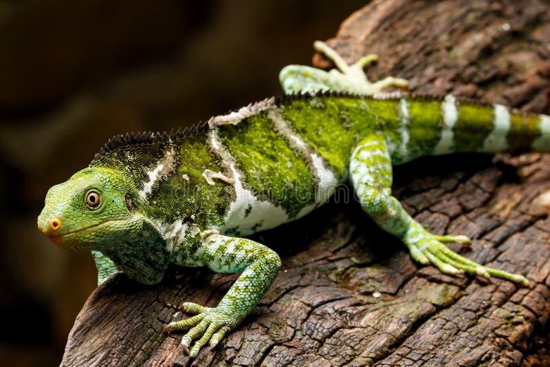 Il Fijian crested il vitiensis di Brachylophus dell'iguana su Viti Levu Isla fotografia stock libera da diritti