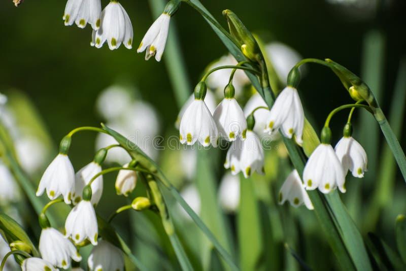 Il fiocco di neve di estate fiorisce il leucojum aestivum fotografie stock