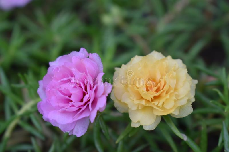 Il fiore è verdolaga fotografie stock libere da diritti