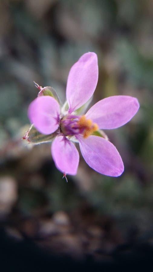 Il fiore in anticipo della molla fotografie stock libere da diritti