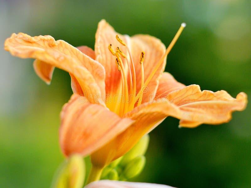 Il fiore arancio è sbocciato immagini stock