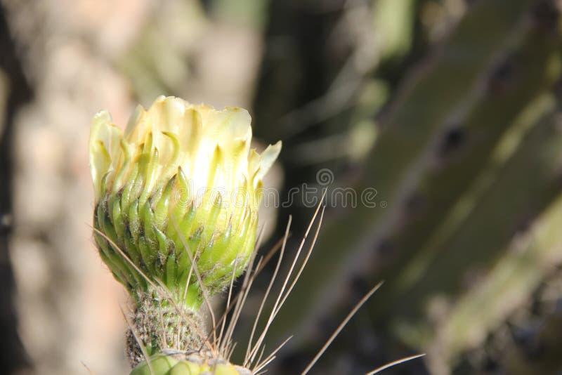 Il fiore bianco di un cactus fotografie stock libere da diritti