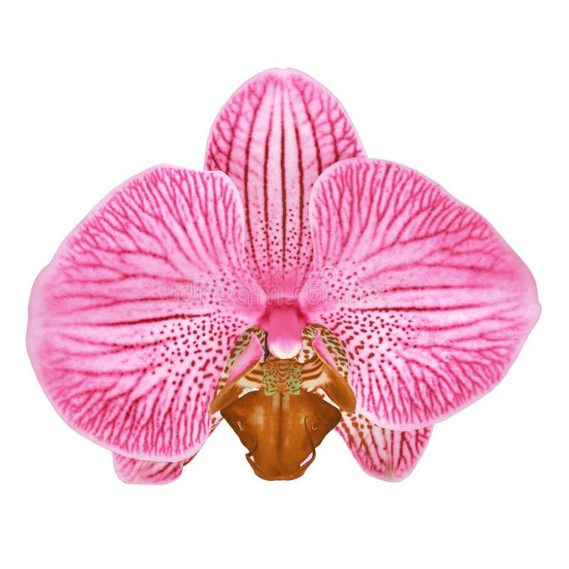 Il fiore bianco marrone dell'orchidea della sangria di rosa ha isolato il fondo bianco con il percorso di ritaglio Primo piano de immagini stock libere da diritti