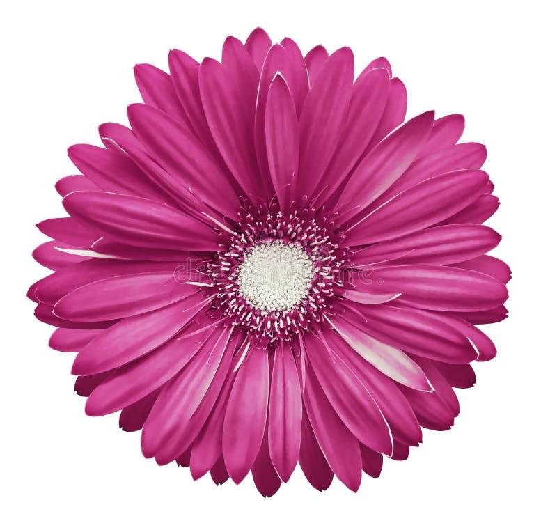 il fiore bianco rosa della gerbera, bianco ha isolato il fondo con il percorso di ritaglio closeup Nessun ombre Per il disegno fotografie stock libere da diritti