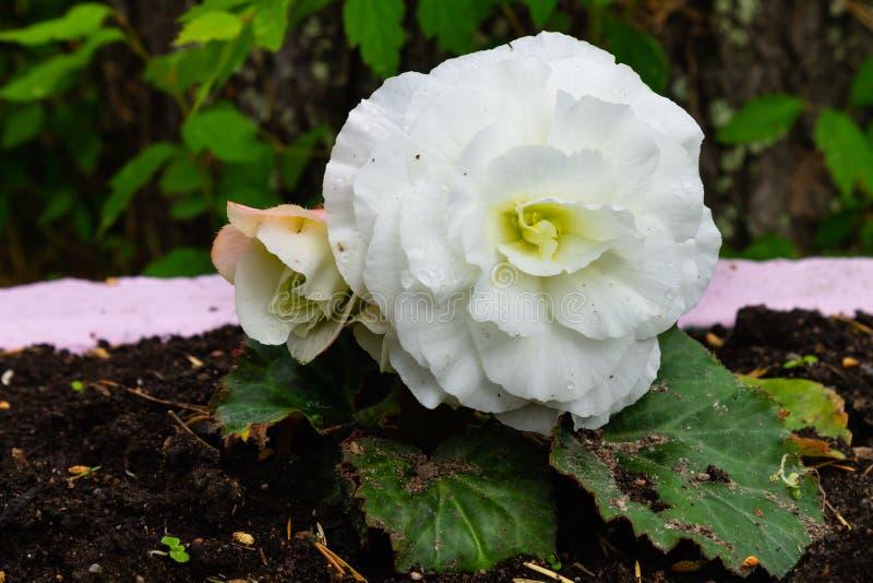 Il fiore bianco si sviluppa in un primo piano del letto di fiore immagini stock libere da diritti