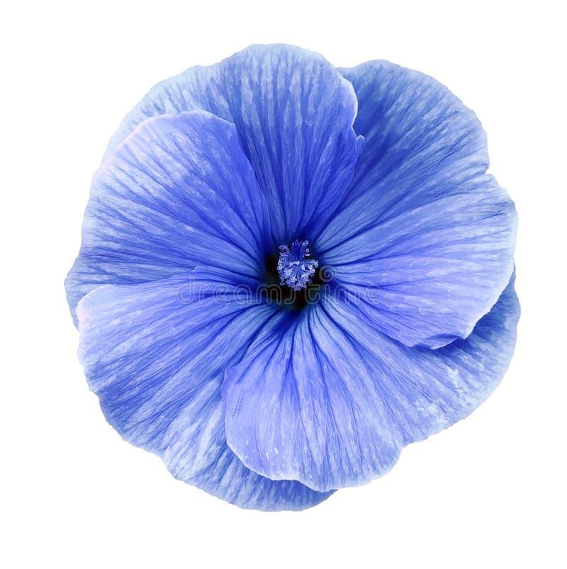Il fiore blu del Lavatera su un bianco ha isolato il fondo con il percorso di ritaglio closeup Nessun ombre Per il disegno fotografia stock