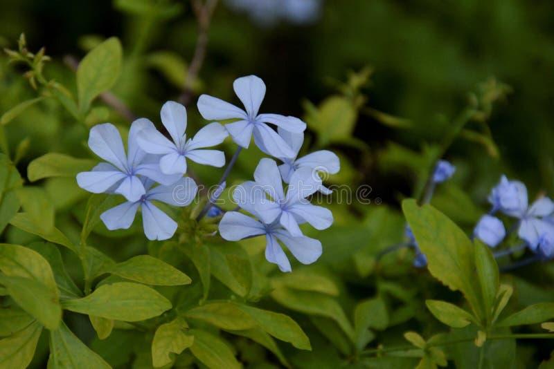 Il fiore blu ha sottolineato immagini stock