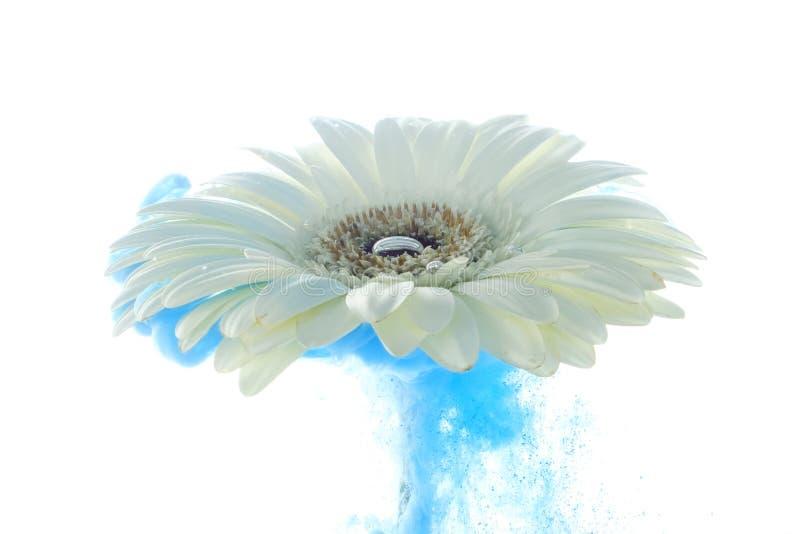 Il fiore blu luminoso con spruzza isolato su fondo bianco immagini stock libere da diritti