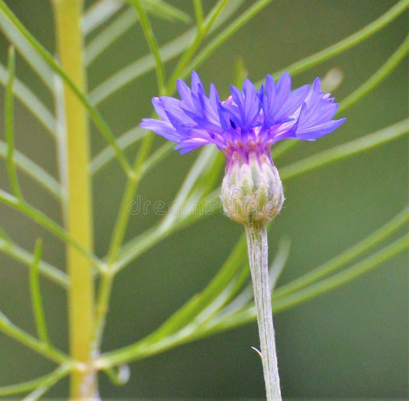 Il fiore blu in un piccolo giardino del patio visualizza il suo colore per attirare i colibrì fotografia stock libera da diritti