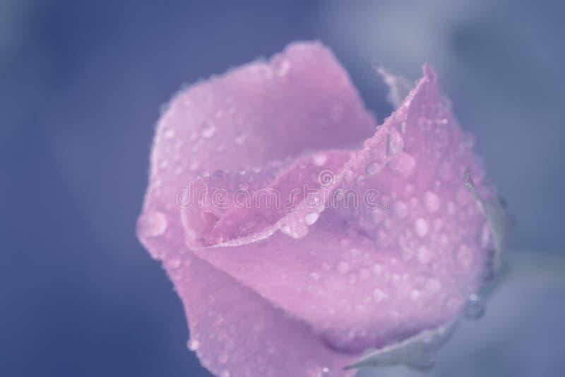 Il fiore d'annata è aumentato con le gocce dell'acqua, si chiude sul dettaglio immagini stock libere da diritti