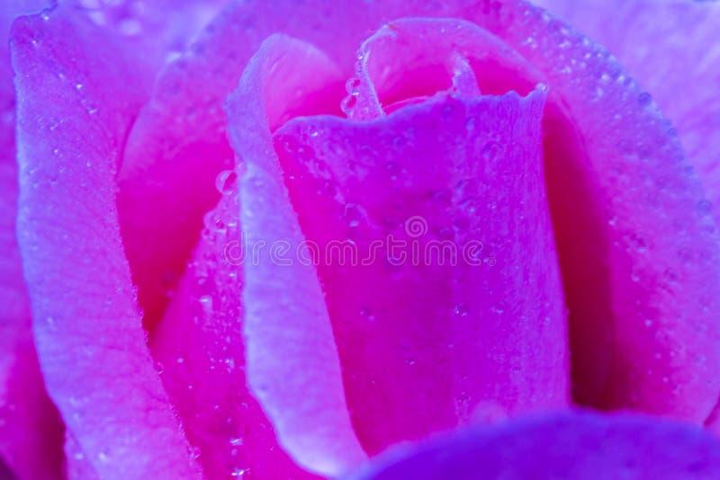 Il fiore d'annata è aumentato con le gocce dell'acqua, si chiude sul dettaglio immagine stock