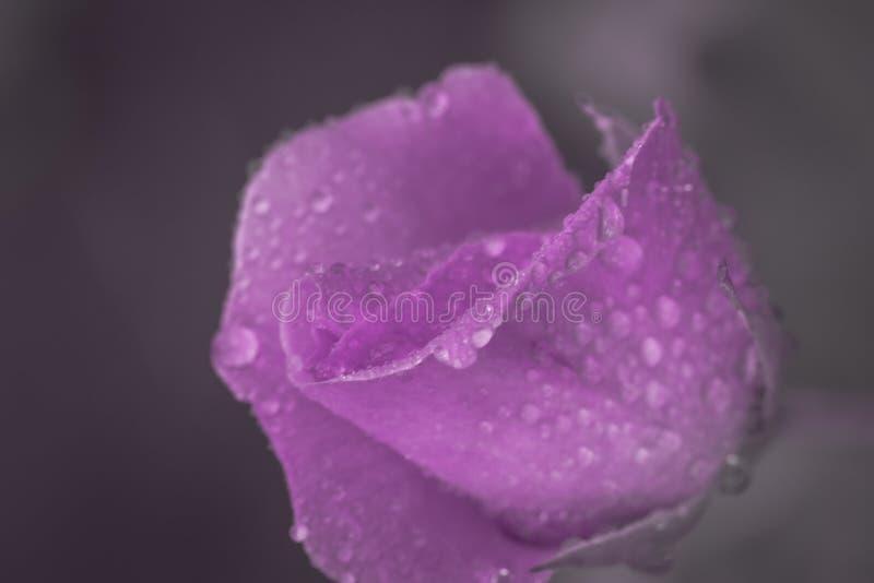Il fiore d'annata è aumentato con le gocce dell'acqua, si chiude sul dettaglio fotografie stock