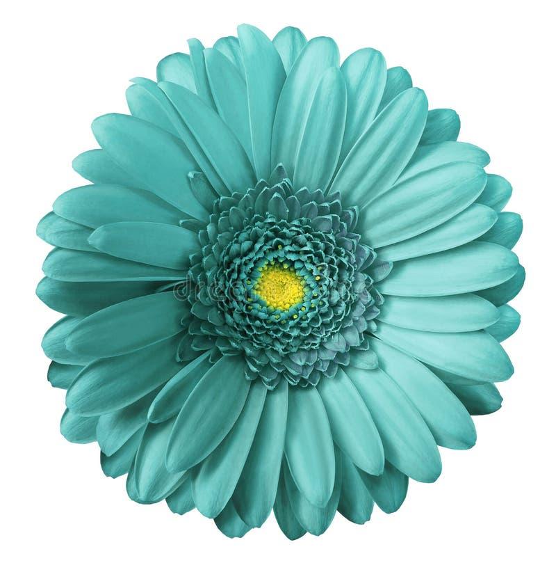 Il fiore del turchese della gerbera su bianco ha isolato il fondo con il percorso di ritaglio Nessun ombre closeup fotografie stock libere da diritti