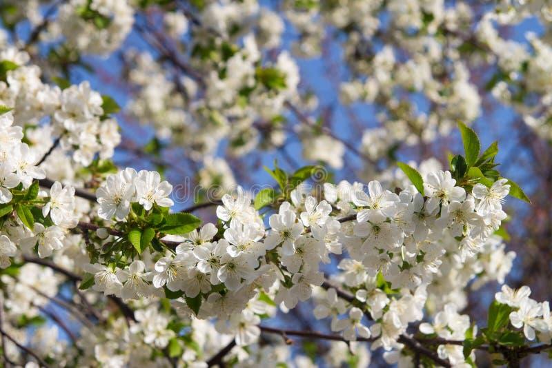 Il fiore dell'albero di albicocca, balza fondo floreale della natura, carta da parati fotografie stock