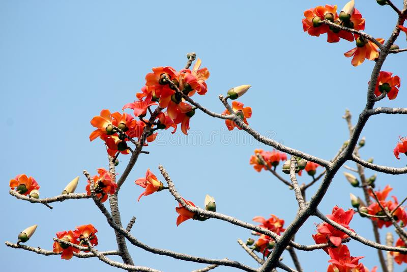 Il fiore dell'albero di ceiba del bombax o il fiore capisce l'albero immagini stock