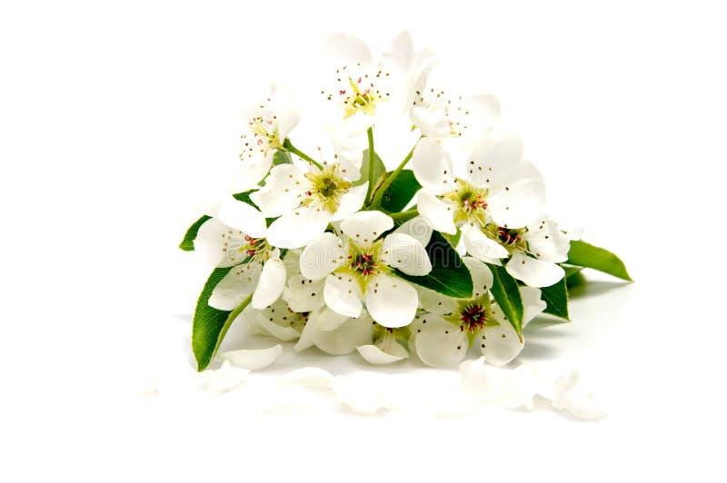 Il fiore della ciliegia della fioritura della primavera sopra whiteed su fondo bianco fotografia stock libera da diritti