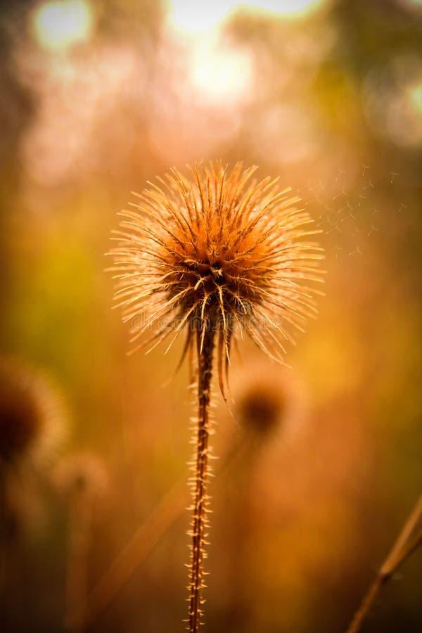 Il fiore della spina si sviluppa nel campo fotografie stock libere da diritti