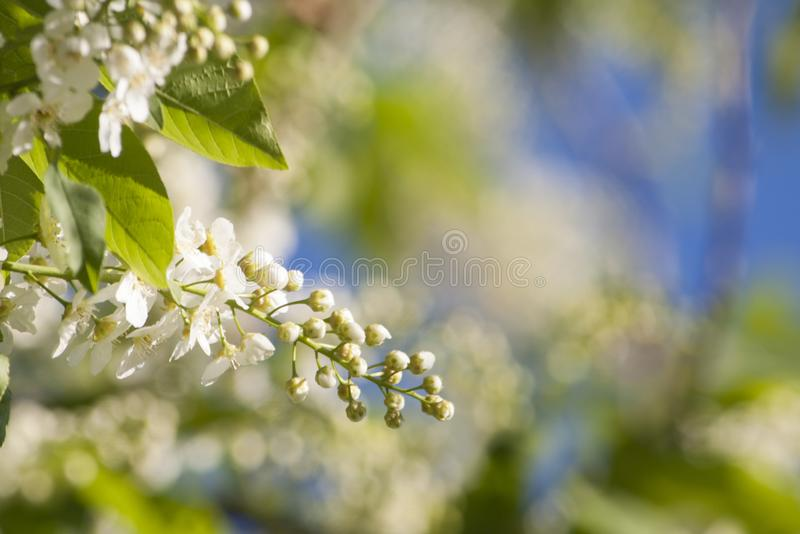 Il fiore della uccello-ciliegia a maggio fotografia stock libera da diritti