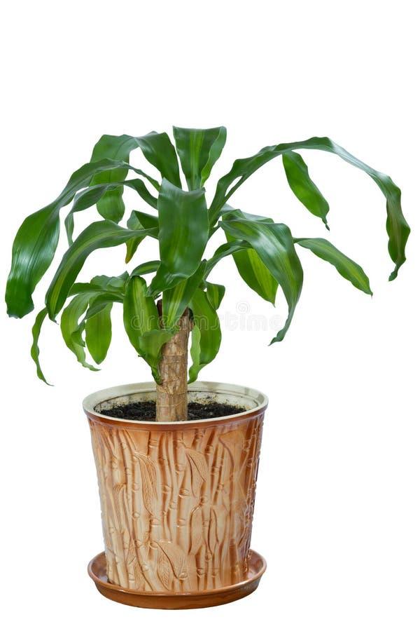 Il fiore di immagine in un vaso della dracaena della stanza fotografie stock
