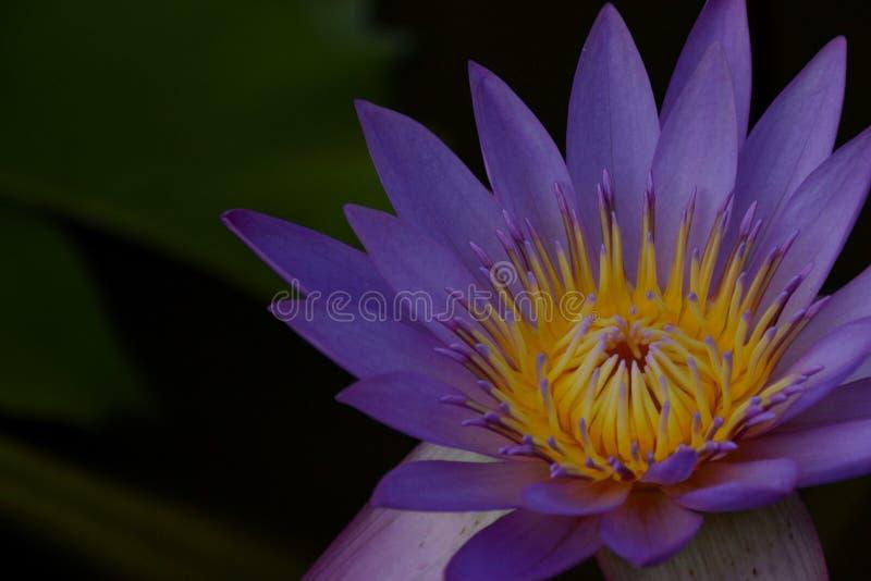 Il fiore di Lotus ha sottolineato - 5 immagini stock libere da diritti