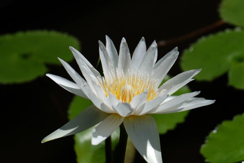 Il fiore di Lotus, ? un fiore che si sviluppa nell'acqua in alcune mitologie e credenze sono i fiori sacri fotografia stock