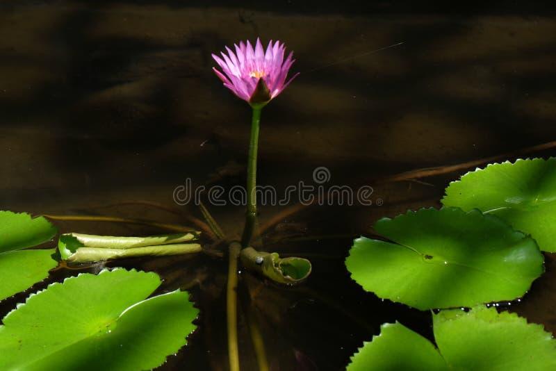 Il fiore di Lotus, ? un fiore che si sviluppa nell'acqua in alcune mitologie e credenze sono i fiori sacri fotografia stock libera da diritti
