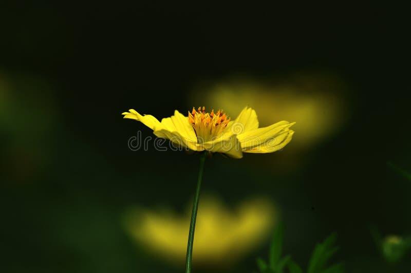 Il fiore di raggio giallo, inoltre ha chiamato l'universo del fiore, appartiene alla famiglia del girasole fotografia stock