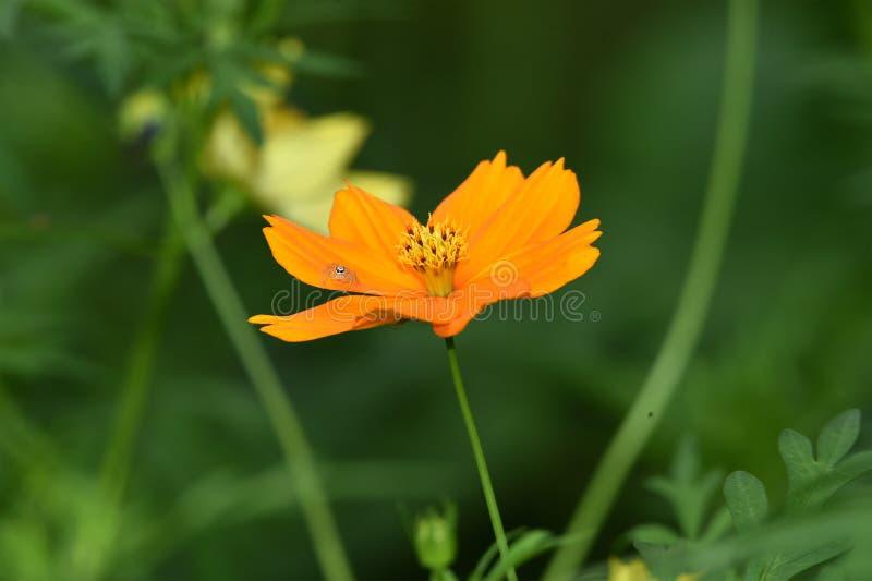 Il fiore di raggio giallo, inoltre ha chiamato l'universo del fiore, appartiene alla famiglia del girasole immagini stock libere da diritti