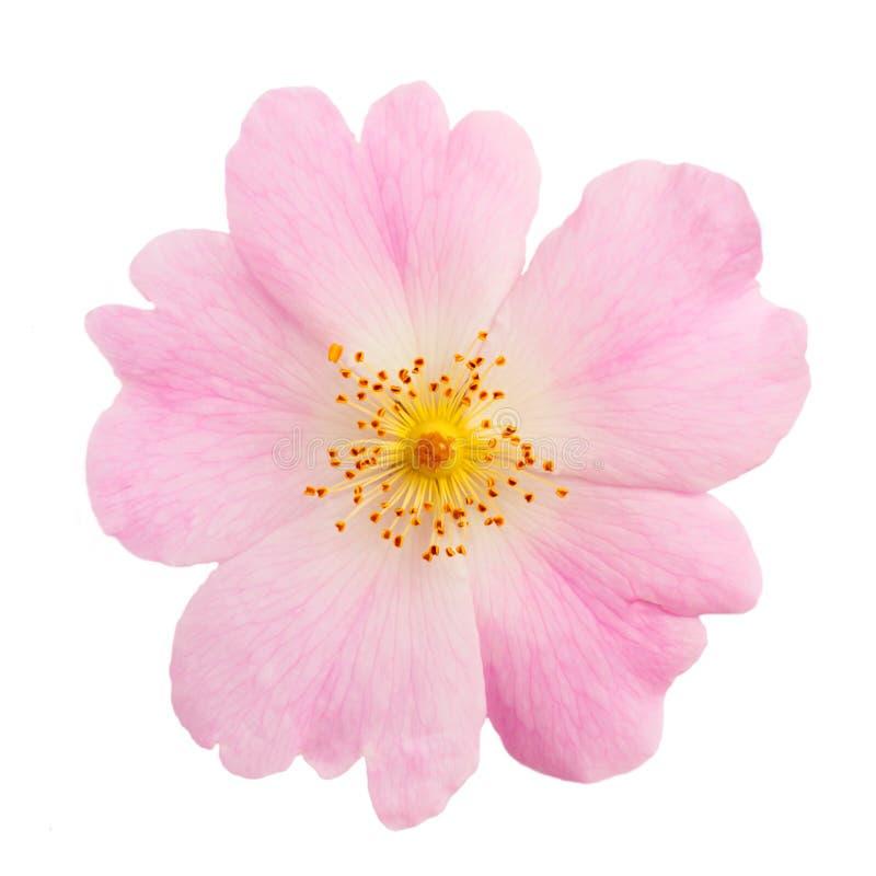 Il fiore di selvaggio è aumentato immagini stock