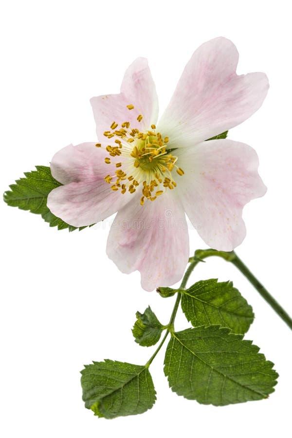 Il fiore di selvaggio è aumentato, isolato su fondo bianco fotografia stock