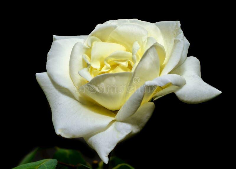 Il fiore di un bianco è aumentato fotografia stock