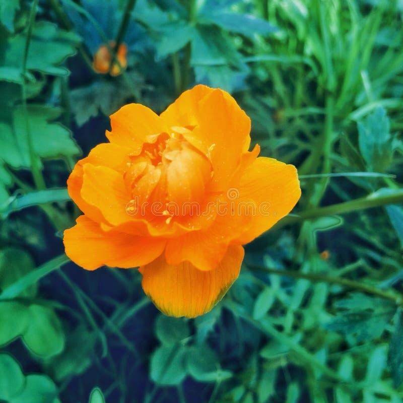 Il fiore fiorisce i globeflowers fotografia stock