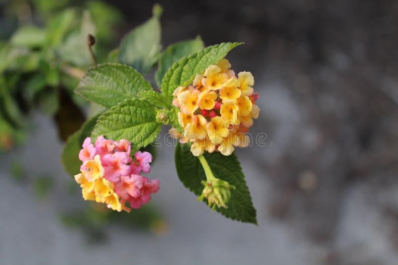 Il fiore giallo fotografie stock