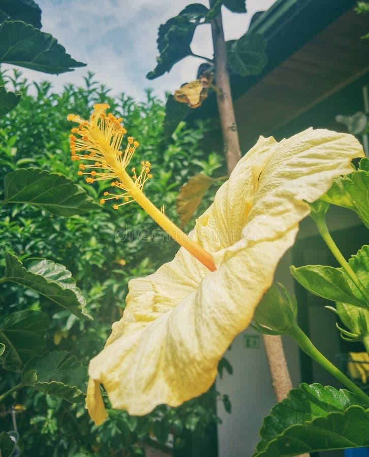 Il fiore giallo con le grandi antere e polen immagine stock