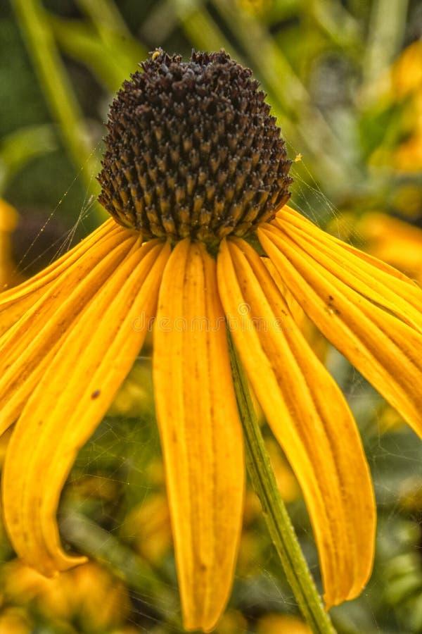 Il fiore giallo del cono nel giardino fotografia stock libera da diritti