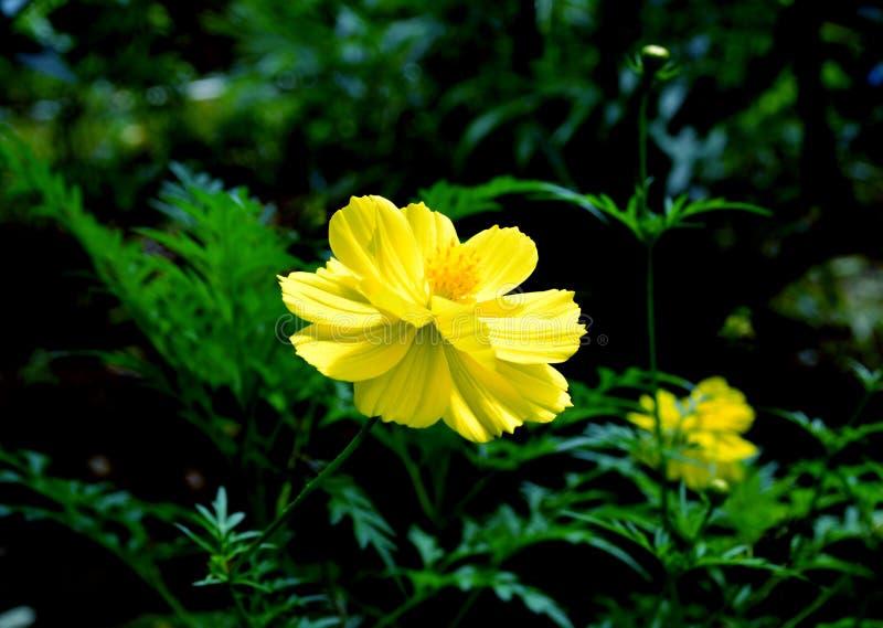 Il fiore giallo fresco e si raffredda fotografia stock