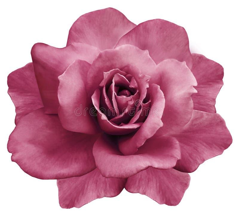 Il fiore ha isolato la rosa di rosa su un fondo bianco closeup Elemento del disegno fotografia stock libera da diritti