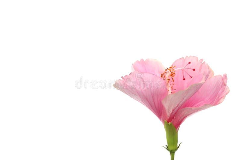 Il fiore, l'ibisco o il cinese della scarpa sono aumentato su fondo bianco immagine stock libera da diritti