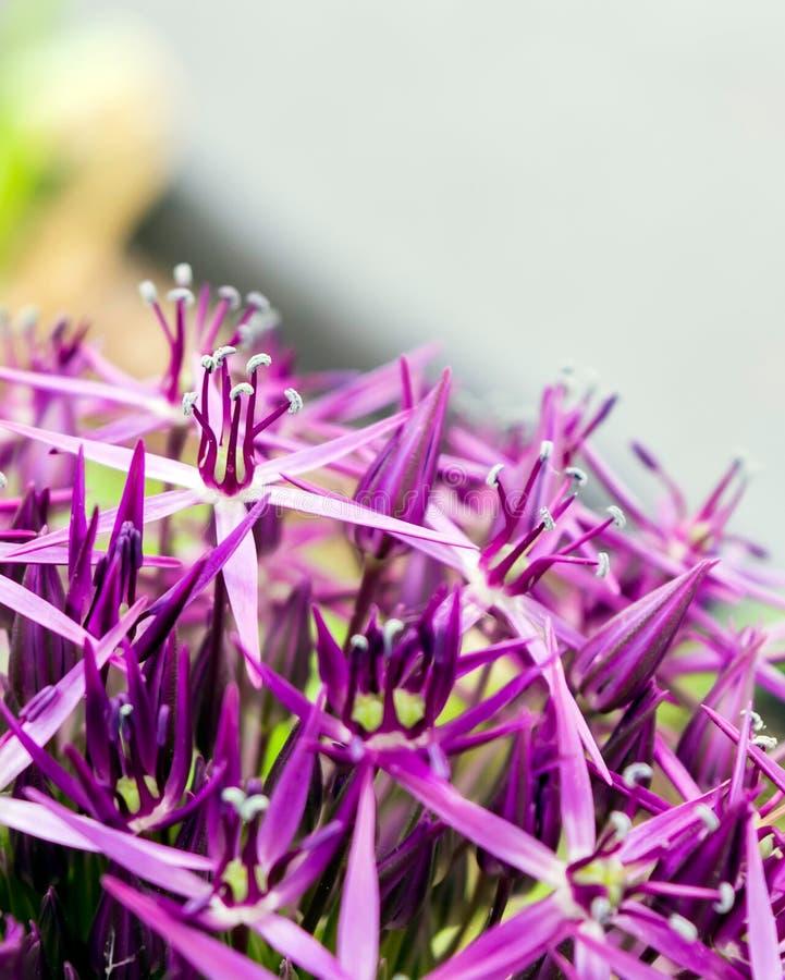 Il fiore porpora della sfera ha chiamato Star della Persia fotografie stock libere da diritti