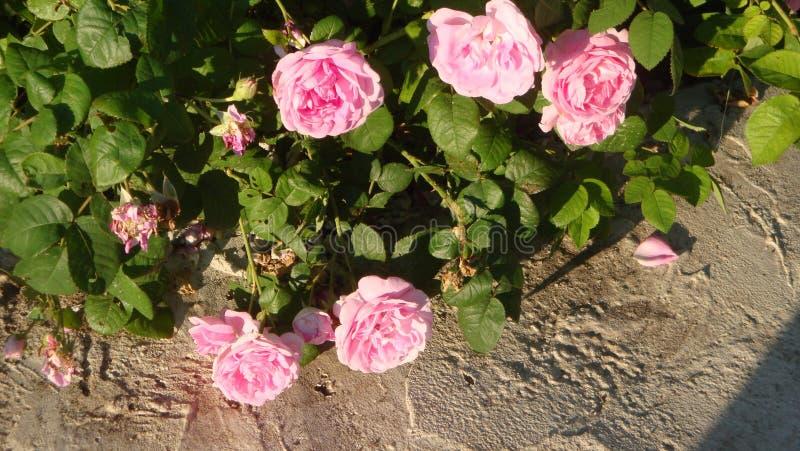 Il fiore rosa-chiaro dell'abbagliamento fornisce l'anima della luce, dell'ammirazione e del culto benedetti immagine stock