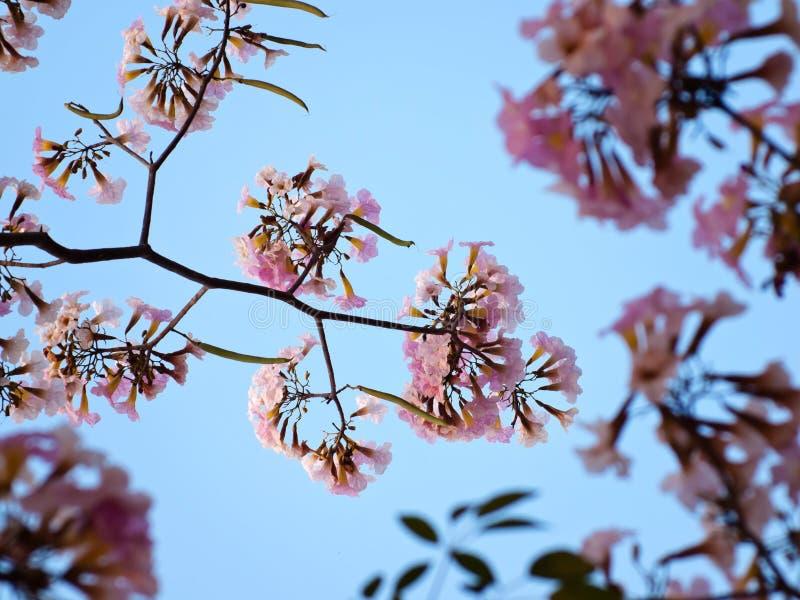 Sensibilità rosa di sogno dolce fotografia stock