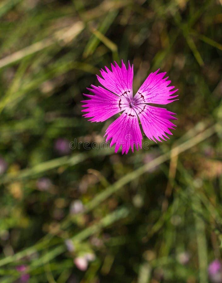 Il fiore rosa di Sequier fotografie stock libere da diritti